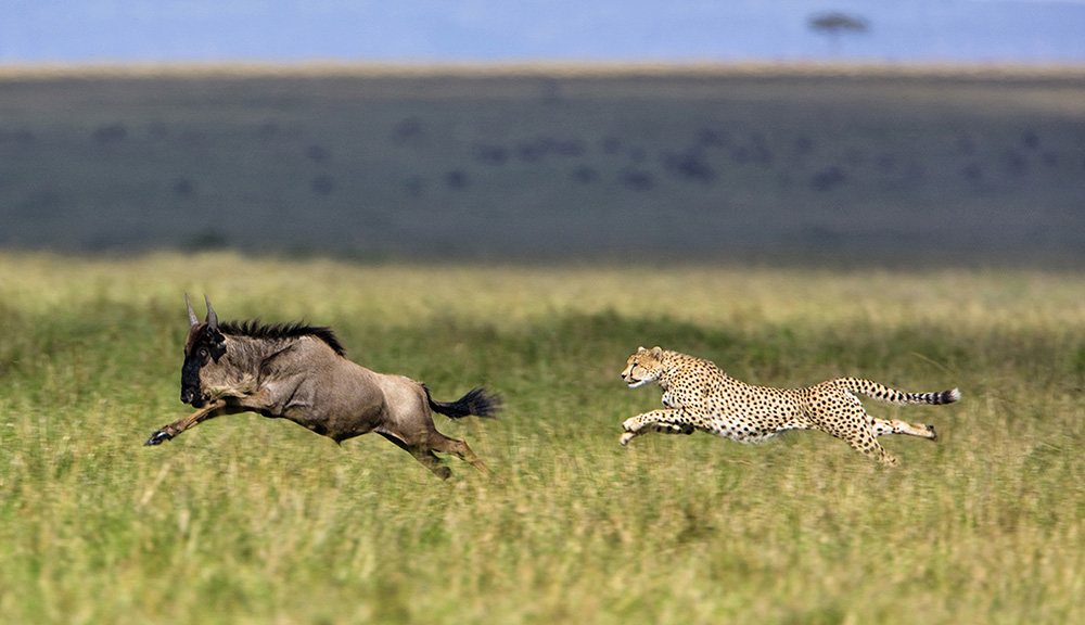https://www.c4photosafaris.com/uploader/images/AngieScott.Cat3.CheetahHunt-small.jpg