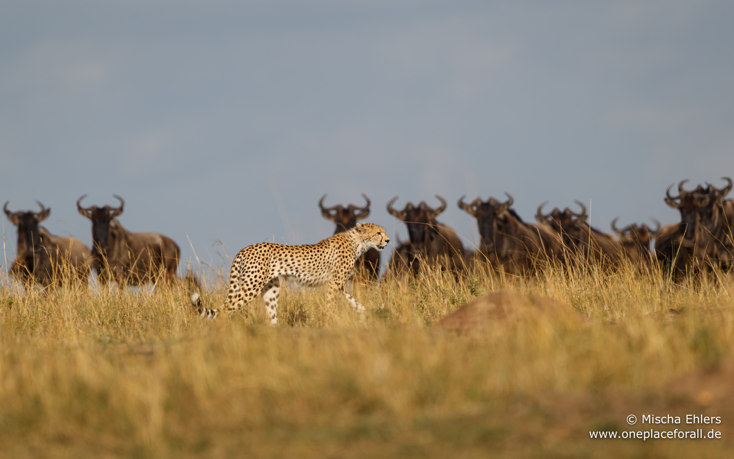http://www.c4photosafaris.com/uploader/images/Cheetah_in_front_of_wildebeest.jpg