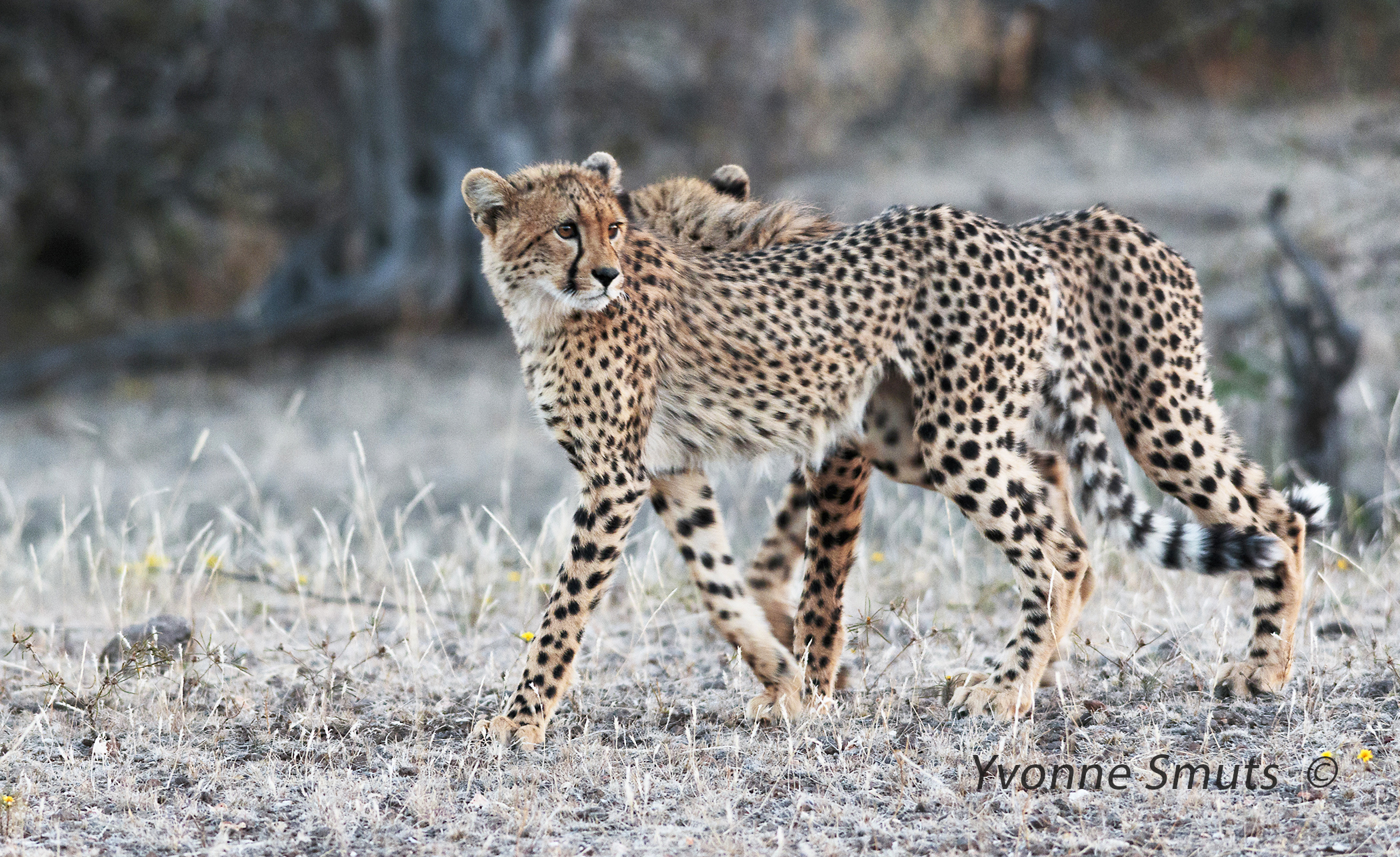 http://www.c4photosafaris.com/uploader/images/IMG_1880_7x4_cheetahs_walking.jpg