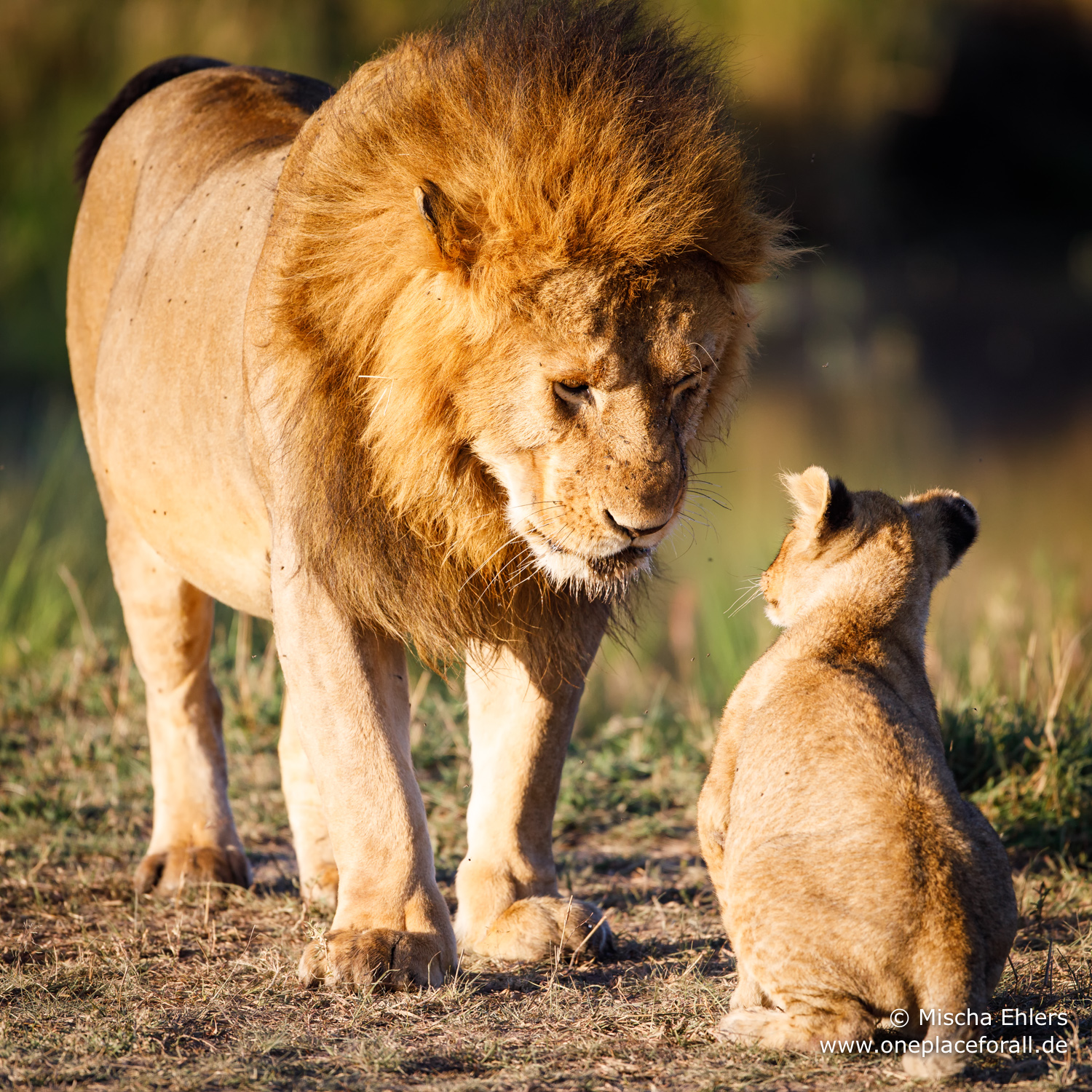 http://www.c4photosafaris.com/uploader/images/Male_Lion_and_Cub.jpg