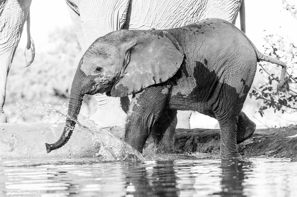 A young elephant slips into the icy water
