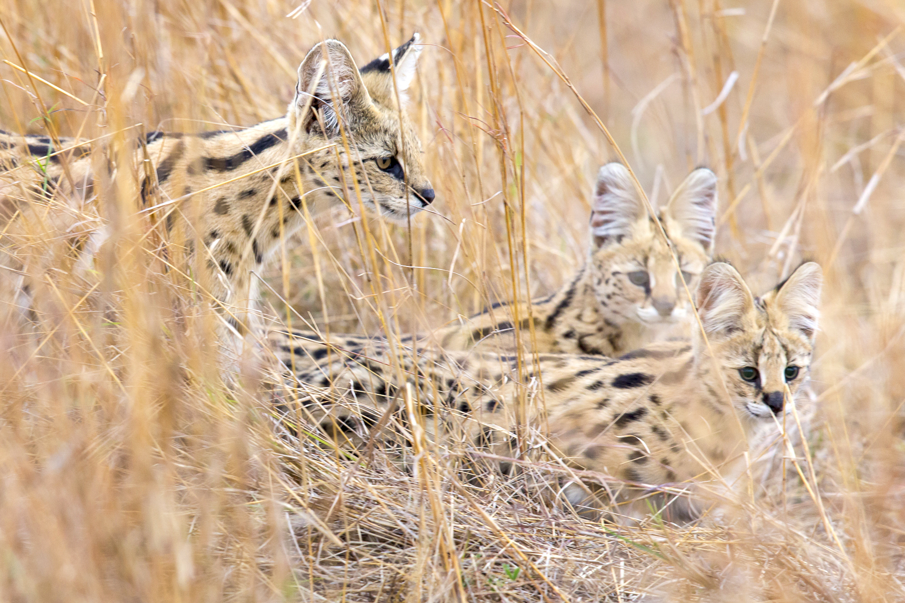http://www.c4photosafaris.com/uploader/images/Serval_with_Kittens.jpg